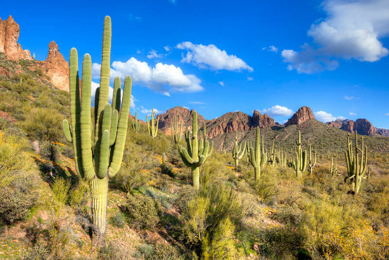 Saguaro cacti at hewitt canyon