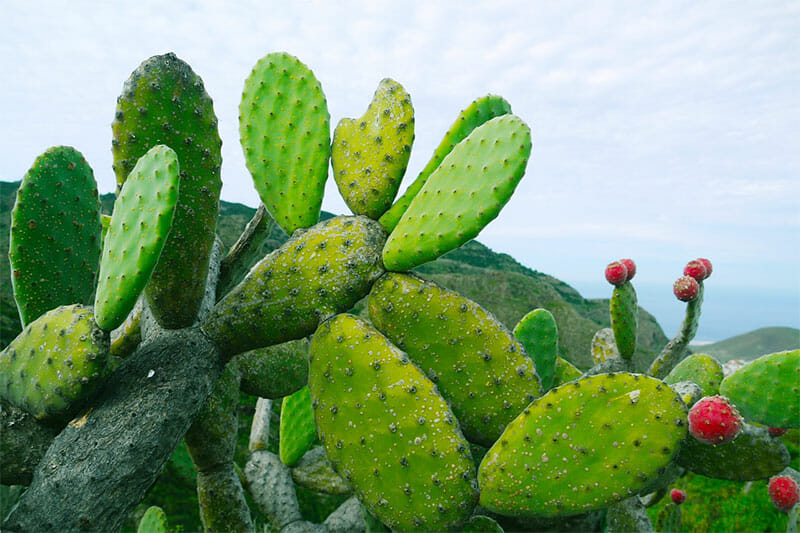 Prickly pear cactus without spines