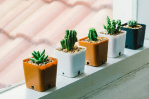 small cacti getting sunlight by a window