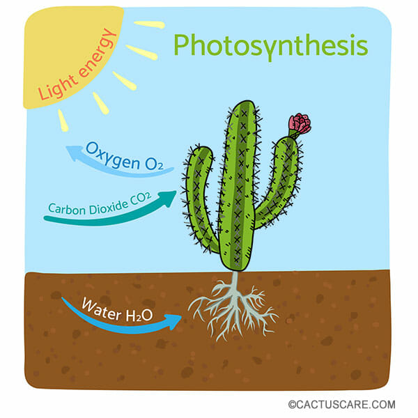 Illustration showing a cactus performing photosynthesis