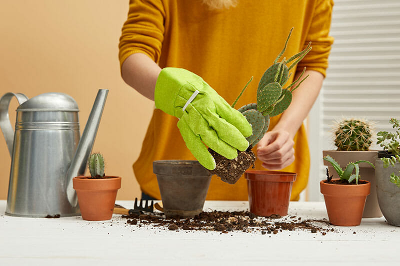 Woman switching a cactus soil