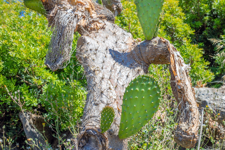 dried and sick opuntia cacti
