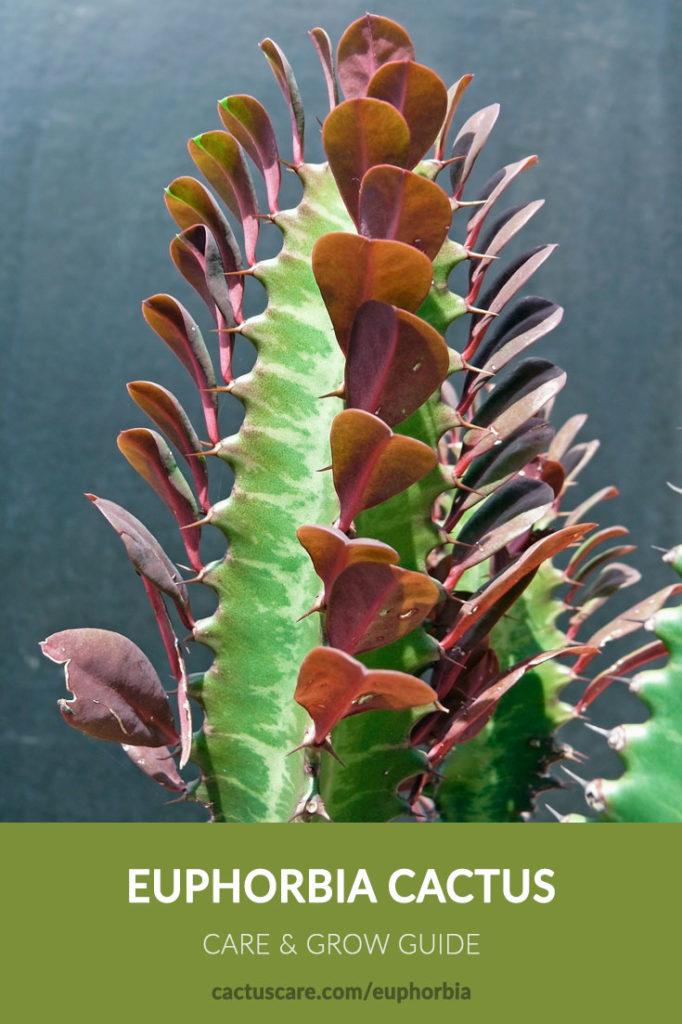 Euphorbia cactus care sheet image