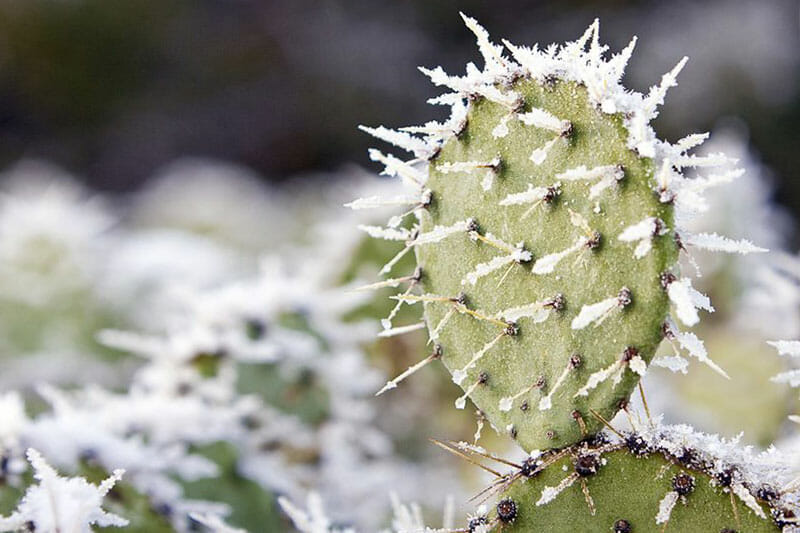 Frozen prickly pear with snow on top