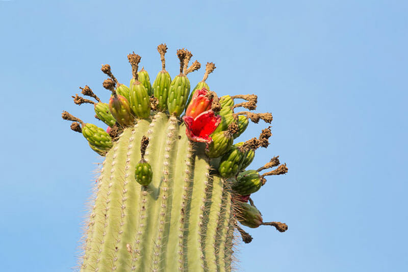 Saguaro cactus crest with ripe fruits