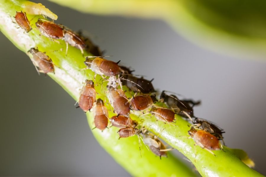 colony of scale insect pests