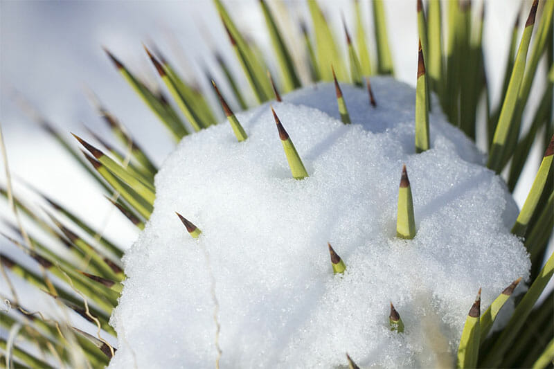 snow on cactus spines